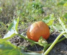 Pumpkin Fertilizer Requirements: Guide To Feeding Pumpkin Plants -  You spend all summer tending your vine, and you want to get the most out of it that you can. Fertilizing pumpkins is essential, as they will devour nutrients and run with them. Learn more about pumpkin fertilizer requirements here.