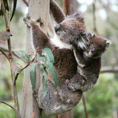 Tuvimos mucha suerte de poder ver a una #Koala con su cría en libertad. #Nature #Australia  We were very lucky We watched a Koala mummy with her child. It was amazing #GreatOceanRoad  #worldplaces #world_places #world_shots #world_shotz ##beautifulplaces #worldcaptures #wonderful_places #worldtravelbook #wonderful_shots #webstagram #wonderlust #wanderlust #wonderlust #beautifuldestinations #instatravel #mytravelgram #igtravel #instadaily #igers #igdaily #aussie #takemeback