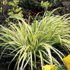 "Acorus gramineus ""Ogon"" Golden Sweet Flag - very contemporary look Hillside Landscaping, Landscaping Plants, Garden Plants, Pool Plants, Flowers Garden, Trees For Front Yard, Gardening Zones, Planting Plan, Perfect Plants"
