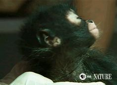 "Seems to be saying NO! pbsnature: ""The lifespan of a spider monkey is estimated to be at least 33 years. """