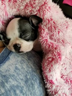 Boston Terrier – Friendly and Bright Pokey Little Puppy, Little Puppies, Cute Puppies, Cute Dogs, Dogs And Puppies, Doggies, Baby Boston Terriers, Boston Bull Terrier, Terrier Breeds