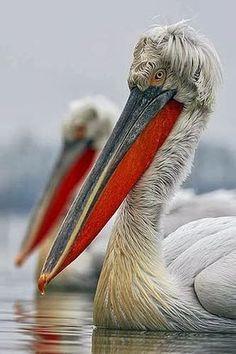 Dalmatian Pelican (Pelecanus crispus) at the Lake Kerkini, Macedonia, Greece. Pretty Birds, Love Birds, Beautiful Birds, Animals Beautiful, Cute Animals, Exotic Birds, Colorful Birds, Tier Fotos, Big Bird