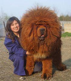軽く人間超え。でもまったく自覚がない大きい犬たちのほのぼの写真 : カラパイア