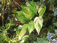 Jiboia - Minhas Plantas