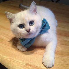每天畫全妝出門也是很累的喵〜擁有仙氣美瞳的正妹貓咪Coby   可愛   妞新聞 niusnews