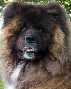 American Akita- long coated variety | Favorite Dog breeds ...