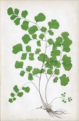 Discover thousands of images about Maidenhair Fern Tattoo Fern tattoo idea Botanical Tattoo, Botanical Drawings, Botanical Prints, Illustration Botanique, Plant Illustration, Motif Floral, Arte Floral, Trees To Plant, Fern Plant