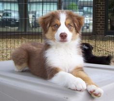 red tri australian shepherd pup I will have one!... Or two... Or three