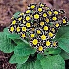 Clustered fireworks of color in shapely mounds make primrose (primula) a delight. with tons of brightly colored blooms that burst forth all summer long, your shade garden will be boring no more. Pretty Flowers, Primula, Plants, Black Flowers, Primroses, Shade Perennials, Perennials, Love Flowers, Shade Plants