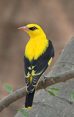 Indian Golden Oriole Join us >>The world of birds Kinds Of Birds, All Birds, Little Birds, Love Birds, Angry Birds, Flying Birds, Pretty Birds, Beautiful Birds, Animals Beautiful