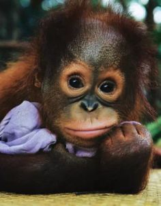 Cute Baby Animals, Animals And Pets, Funny Animals, Monkey Art, Cute Monkey, Cute Animal Photos, Animal Pictures, Baby Orangutan, Kittens And Puppies