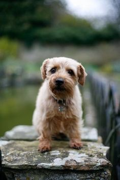 Barney the Norfolk Terrier