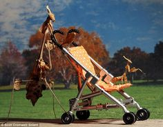 A mother mantis takes her baby mantis for a walk in the park in a miniature bug pram - The 40-year-old television repair man bought various species of mantis online - they include a tall violin species, as well as a dead leaf and juvenile ghost.