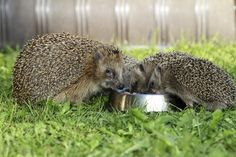 Hedgehogs are becoming seriously ill after homeowners leave 'treat' food in their gardens