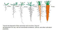 World Carrot museum - Description of Carrot Root Cottage Garden Plants, Vegetable Garden, Permaculture, How To Plant Carrots, Date Plant, Planting For Kids, Growing Carrots, Parts Of A Plant, Gardens