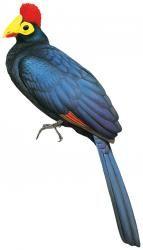 Ross's Turaco (Musophaga rossae)