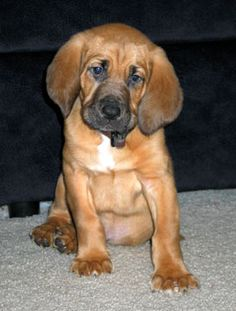 It may be conceivable to find the Bloodhound resembling the one Nugget - 10 weeks old submitted by Kasia Elser in the Bloodhound classifieds area. Description from gotpetsonline.com. I searched for this on bing.com/images