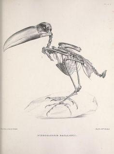 Pteroglossus bailloni - the Saffron Toucanet - Osteologia avium (A sketch of the osteology of birds) published by R. Hobson, Wellington, Salop,1858-1875.