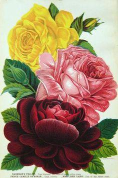 Vintage Rose Album: Róża w roli głównej...