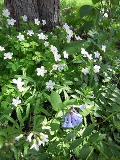 Native Shade gardens: Wild Leek  Columbine, Jack-in-the-Pulpit, Poke Milkweed, Drummond's Aster,   Arrow-leaved Aster, Short's Aster,   Hairy Wood Mint, Tall Bellflower,   Pointed-leaved Tick Trefoil, Wild Geranium, Goldenseal, Forbs,   Great Waterleaf, Bishop's Cap,   Sweet Cicely, Jacob's Ladder, Solomon's Seal, Woodland Knotweed, Lion's Foot, Hairy Mountain Mint