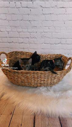 Black Kittens, Cats And Kittens, Bengal Cat Breeders, Bengal Kitten, Cat Makeup, Cat Carrier, Funny Birds, Unique Cats, Cat Accessories