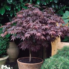 Acer palmatum Artropurpureum - bonsai tree http://stores.ebay.co.uk/Live-Aquarium-Pond-Plants-Shop/Bonsai-/_i.html?_fsub=6239198015&_sid=748828975&_trksid=p4634.c0.m322