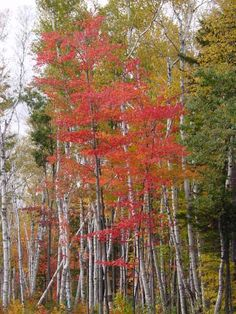 I love white birch trees and had to take this picture to capture the crimson against their bright white trunks.