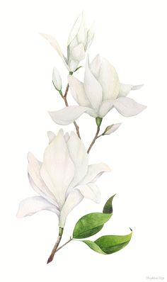 Watercolor illustration of white magnoly on Behance