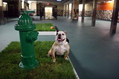 An indoor dog play area with grass box and hydrant must have!