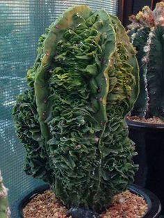 Astrophytum fukuriu
