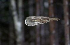 飛ぶフクロウ01                                                                                                                                                     もっと見る
