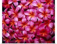 Flowers Pink Plumeria Frangipani, Background