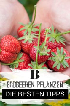 Erdbeeren pflanzen: Die besten Tipps – Well come To My Web Site come Here Brom Western Diet, Strawberry Plants, Saturated Fat, Eating Plans, Beets, Good Things, Snacks, Fruit, Tips