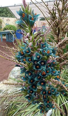 "Puya alpestris ""Sapphire Tower"" - sadly not available at Annie's right now. Beautiful Flowers Garden, Beautiful Gardens, Garden Plants, Indoor Plants, California Garden, Drought Tolerant Plants, Deciduous Trees, Foliage Plants, Diy Garden Decor"