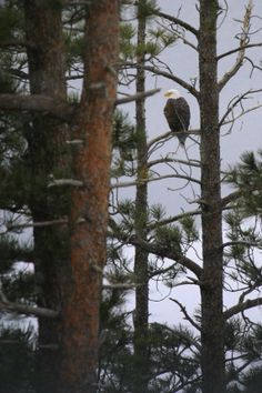 Bald Eagle at Pactola Lake, Black Hills, South Dakota