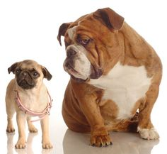 Two times the off-the-charts puppy cuteness! #pug #bulldog #dogs #pets #cute