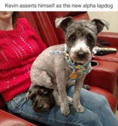 German Shepherd, Chihuahua, Dachshund, American Pit Bull Terrier, Pit bull, Puppy, Cat, Animal, Lap dog, Cuteness: Kevin asserts himself as the new alpha lapdog