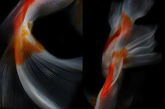 Photographer Hiroshi Iwasaki captures the graceful movement of fish as they glide seamlessly through water. With so much artistic value in his shots, it's hard to visually confirm that his photos are actually not paintings. Focusing on every detail, Iwasaki sets the fish against a dark black background, accentuating their transparent fins, scaled body, and two toned colors. Through these shots, Iwasaki not only shows off his excellent photography skills, he highlights the elegant beauty of…