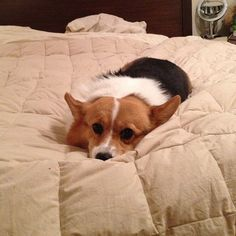 Corgi Alligator Face! Berwyn makes this same face waiting for us to come to bed.