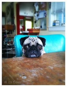 Saki, my pug, at the kitchen table. ©Liza Cowan.
