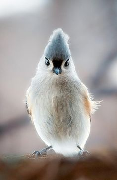 Tufted titmouse//