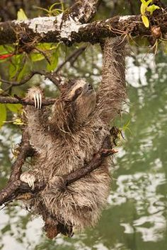 There are currently less than 500 pygmy three-toed sloths in the world. They are located on the Isla Escudo de Veraguas in Panama