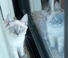 Siamese/Orientals cats.Lilac point,Seal tabby silver Siamese,Seal point, Flame point, ,Balinese andTonkinese.
