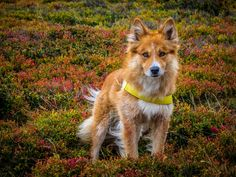 Fox of Harz - Origin: Harzer Fuchs Old german herding dog Cat Safe Plants, Rare Dog Breeds, Herding Cats, Interesting Animals, Rough Collie, Mixed Breed, German Shepherd Dogs, Beautiful Dogs, Dogs And Puppies