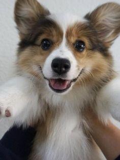 Corgi smile!