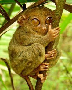 """O """"Tarsius syrichta"""" é uma espécie de társio das Filipinas. O primata é um dos menores do mundo, com o corpo medindo de 85 mm a..."""