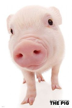 Pig – Art list Collection