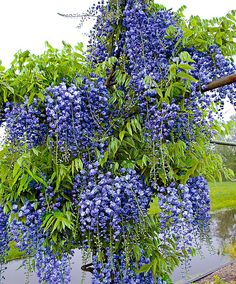 Wisteria sinensis (Glycine) In my garden Fllowers and bark are toxic Chinese Wisteria, Wisteria Tree, Trees And Shrubs, Flowering Trees, Outdoor Plants, Garden Plants, Wisteria Sinensis, Blue And Purple Flowers, Blue Garden