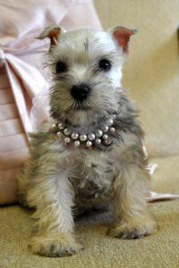Toy Schnauzer Puppy  Tiny Toy Platinum Female - ok I really want one of these!!!