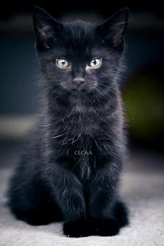 Cute black cat kitten